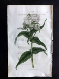 William Curtis 1818 Antique Botanical Print. Sage-Leaved Eupatorium 2010